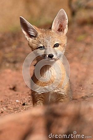 Free Kit Fox Pup Alone Stock Photo - 75065710