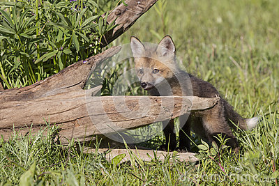 Kit red Fox