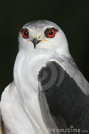 Kite - Black-Shouldered