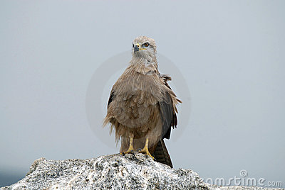 Kite perched on the ground