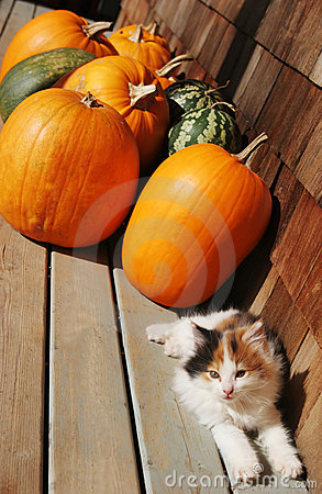 Free Kitten And Pumpkins Royalty Free Stock Images - 1488379
