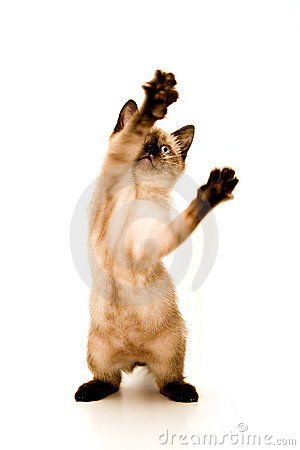Free Kitten Attack Royalty Free Stock Images - 1394959
