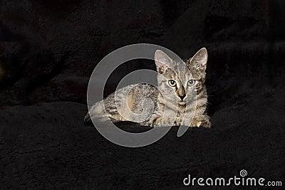 Kitten on black