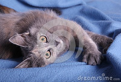A kitten on a blue blanket