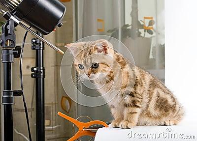 Kitten British breed, posing in studio.