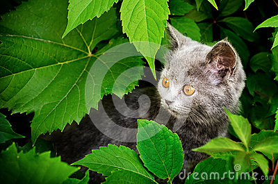 Kitten  of Britisher is in vine leaves