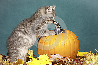 Kitten checks out pumpkin.