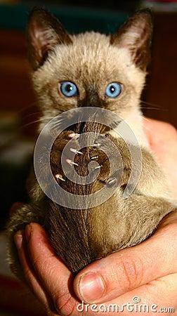 Kitten in a human palm
