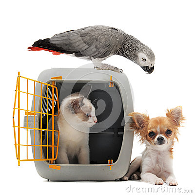 Free Kitten In Pet Carrier, Parrot And Chihuahua Stock Photos - 26913003