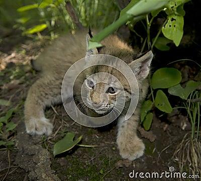 Kitten  of lynx