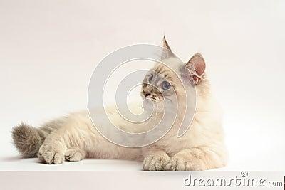 Kitten Neva Masquerade Siberian