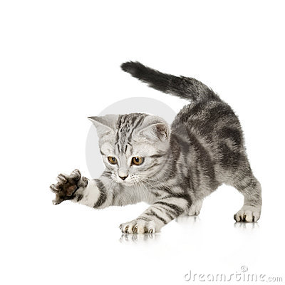 Free Kitten Playing Stock Photography - 2646842