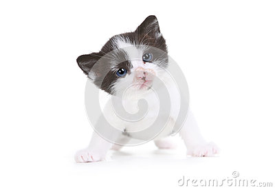 Kitten Portrait in Studio on White Background