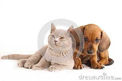 Kitten  and puppydachshund
