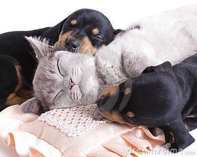 Kitten  and puppydachshund