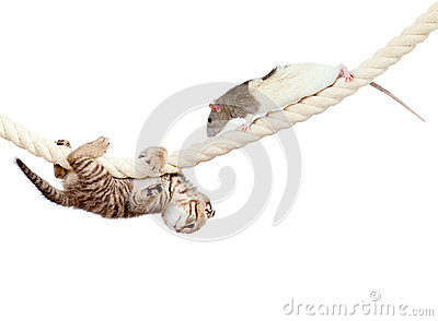 Kitten and rat climbing on rope isolated on whi