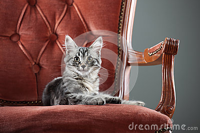 Kitten relaxing on a baroque armchair
