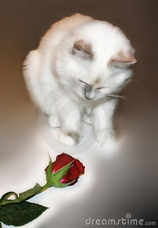 Kitten s first Rose