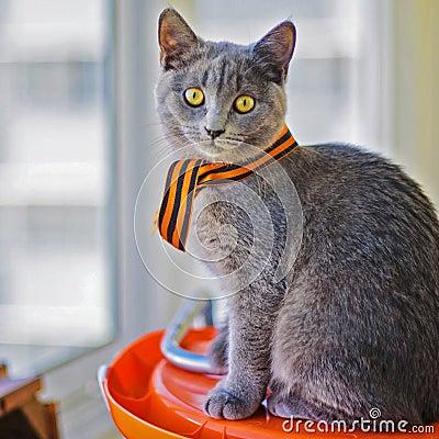 Free Kitten Scottish Stock Image - 71875991