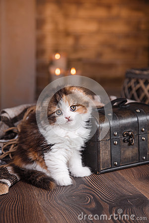 Free Kitten Scottish Fold Breed Royalty Free Stock Photo - 71007425