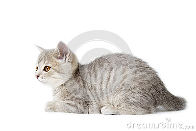 Kitten Scottish Straigh isolated on white
