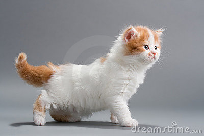 Kitten Scottish Straight breed