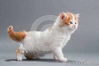 Kitten Scottish Straight breed