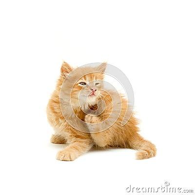 Kitten scratching