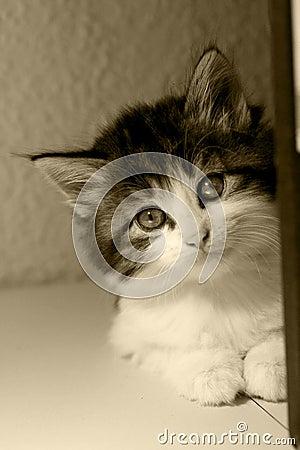 Kitten sepia
