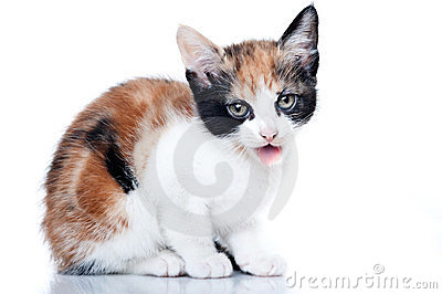 Kitten showing tongue