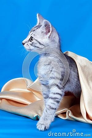 Kitten on a silk fabric