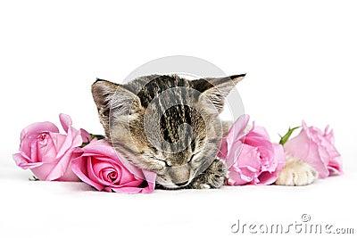 Kitten Sleeping Amongst Pink Roses