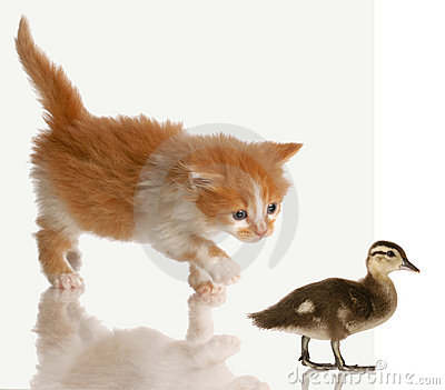 Kitten stalking a baby duck