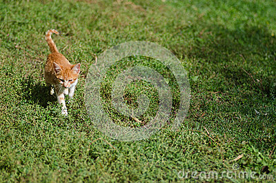 Kitten walking on the grass