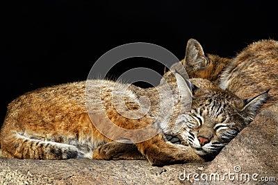 Kittens-bobcats
