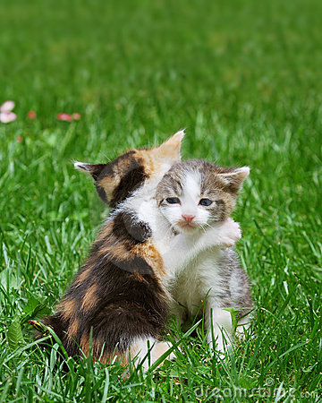 Free Kittens Playing Royalty Free Stock Photos - 9252548