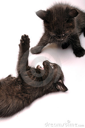 Kittens playing together