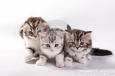 kittens plays on a white background