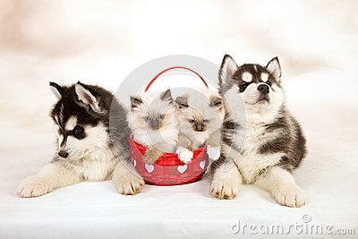 kittens and puppies royalty free stock images image