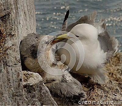 Kittiwake feeding her chick