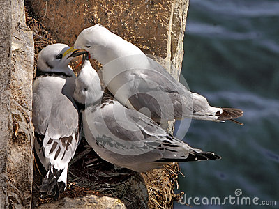 Kittiwake feeds her chicks