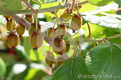 Kiwi fruit - growth
