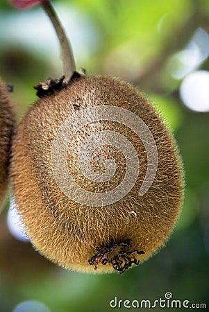 Kiwi on a tree