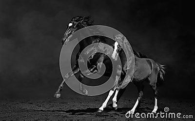 Klacz i jej źrebię, czarno biały fotografia