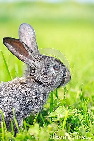 Kleines graues Kaninchen