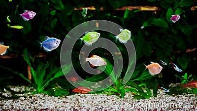 Kleurrijk aquarium, mooie vissen die in water zwemmen stock footage