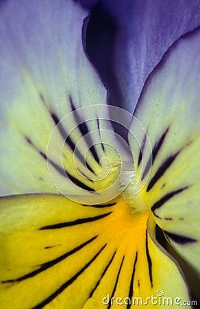Kleurrijk viooltje