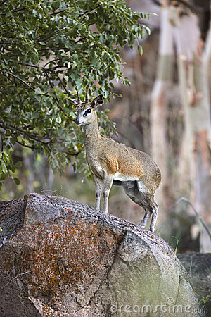 Klipspringer in Namibia