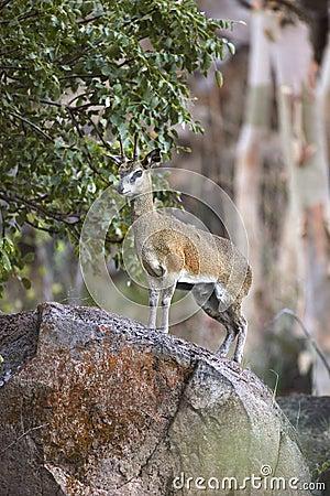 Klipspringer in Namibia