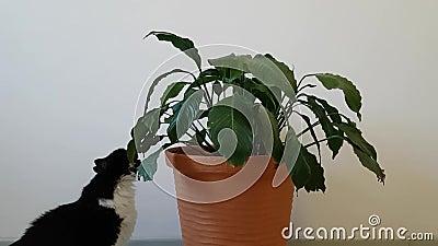 Knaagt de huis ongehoorzame kat huis aan bloem Wen de kat aan het huisleven De kat vernietigt het comfort stock video